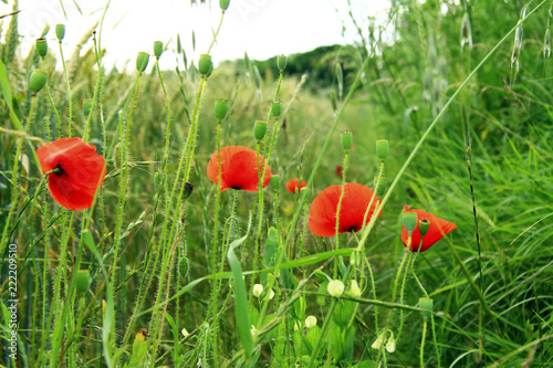 Foto op Plexiglas Klaprozen Poppy flower on the field of wheat summertime