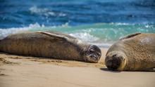 Two Hawaiian Monk Seals Lookin...