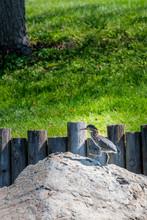 Green Heron In Nature