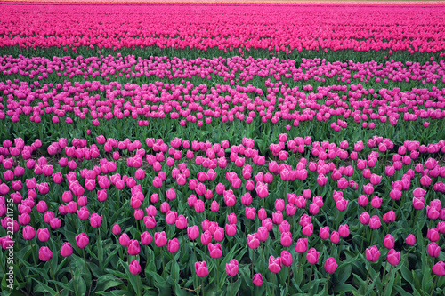 Poster Rose Tulip field in Holland. Rows of pink and purple blooming flowers in Netherlands.