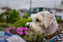 Schnauzer Dog With Coat In The Park