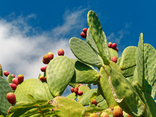 Prickly Pear Fruit And Plant Against Blue Sky