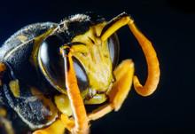 Macro Paper Wasp