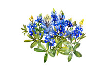 Watercolor Bluebonnets Wildflo...