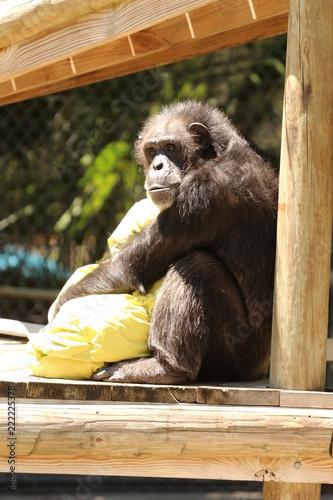 Photo  Chimp / Chimpanzee Cuddling a Blanket