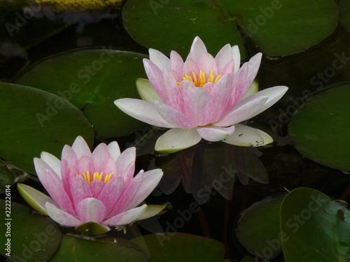 Foto op Canvas Waterlelies Seerose