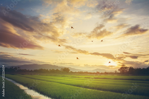 Tuinposter Grijs Grass on the field during sunrise. Agricultural landscape in the summer time in Thailand