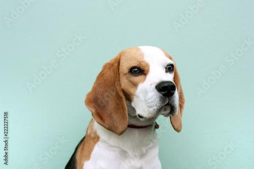 Fototapeta beagle