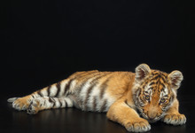 Young Tiger Isolated  On Black...