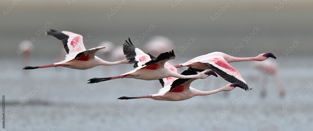 Flamingos in flight. Flying flamingos over the water of Natron Lake.  Lesser flamingo. Scientific name: Phoenicoparrus minor. Tanzania.
