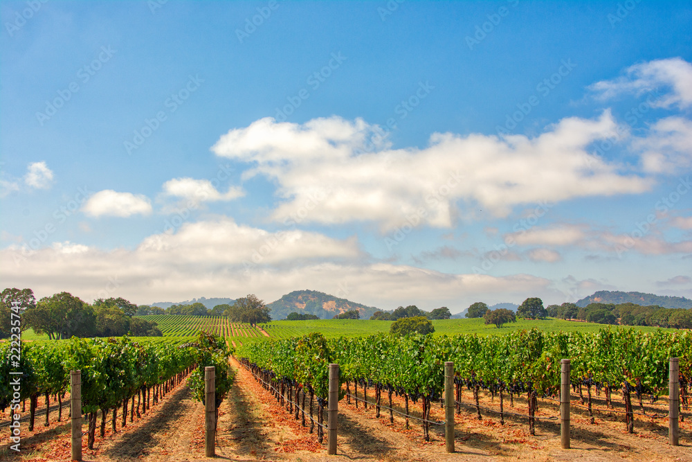 Vineyard with Oak Trees and Clouds., Sonoma County, California, USA