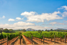Vineyard With Oak Trees And Cl...