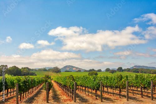 Photo sur Aluminium Vignoble Vineyard with Oak Trees and Clouds., Sonoma County, California, USA