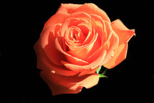 Close-up Of Rose Flower With R...