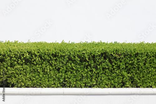 Fotografía Cespuglio verde con muro bianco di sfondo