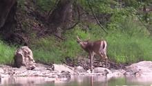 8 Point Whitetail Buck In Velv...