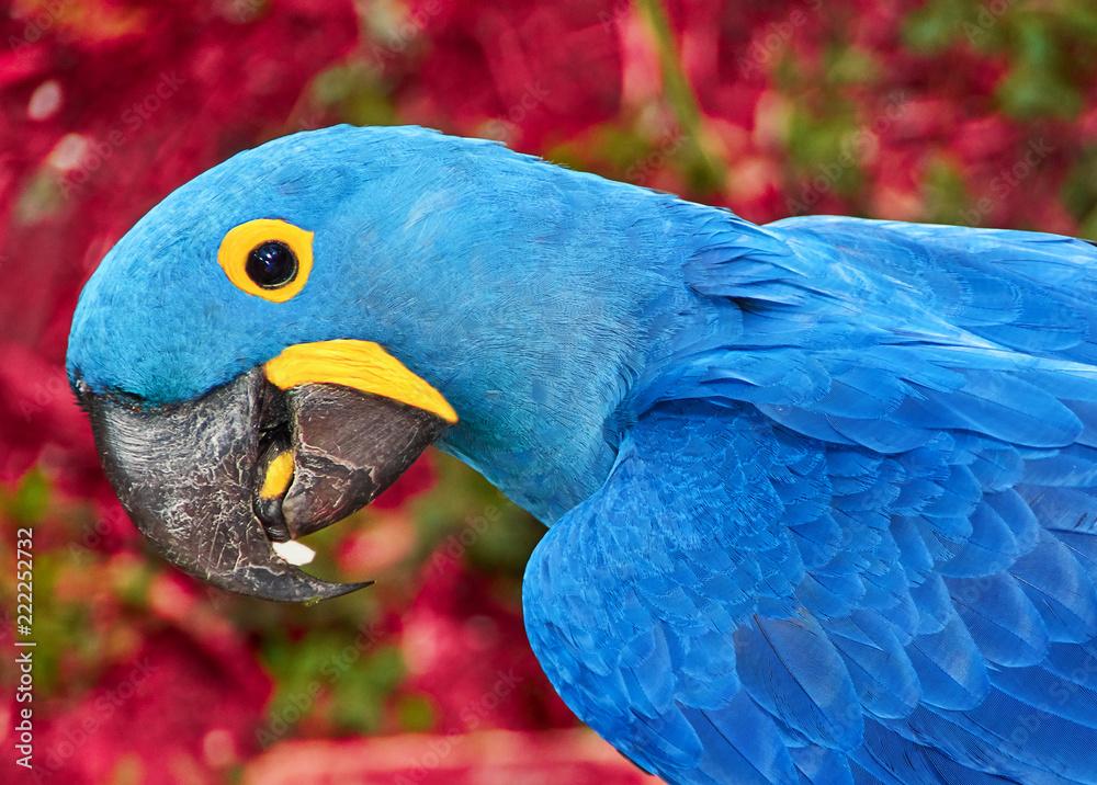 außergewöhnliche Auswahl an Stilen und Farben neue niedrigere Preise echt kaufen Photo & Art Print Parrot blue Spix's macaw close up sitting ...