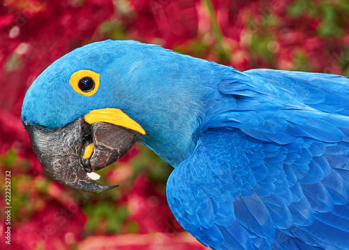 Parrot blue Spix's macaw close up sitting on the land. Portrait of tropical bird. It is a parrot native to central and eastern South America