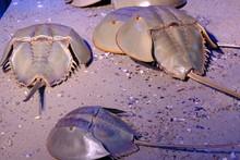 Limulidae Atlantic Horseshoe Crab