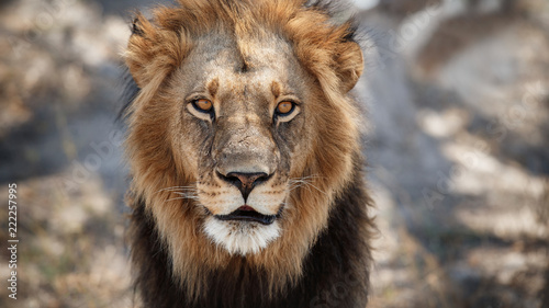 Foto op Aluminium Leeuw Big lion male portrait in the warm light. Wild animal in the nature habitat. African wildlife. This is Africa. Lions leader. Lion King. Panthera leo.