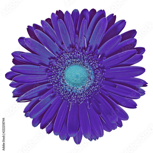 flower indigo cyan gerbera isolated on white background. Close-up. Nature.