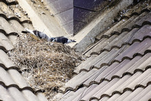 Pigeon Builds Its Nest On Top ...