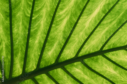 zielone-liscie-alocasia-macrorrhizos-w-ogrodzie-botanicznym
