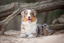 Australian Shepherd Dog In Nature In Front Of A Tree
