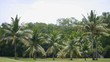 Row of coconut tree in golf