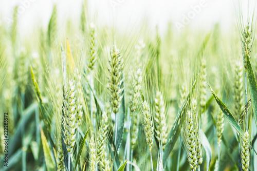 Fotografie, Tablou Epis de blé dans un champ