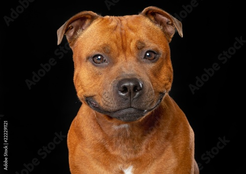 Photo English Staffordshire Bull Terrier Dog  Isolated  on Black Background in studio