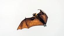 Flying Fox, Huge Bat Flying, Maldives.