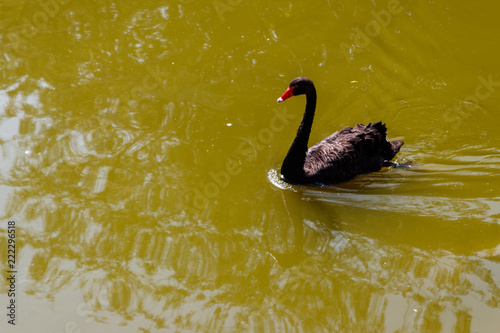 Foto op Canvas Zwaan Black swan swimming on the lake surface