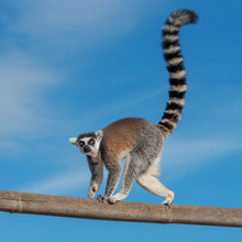 A Ring-tailed Lemur Crossing A...