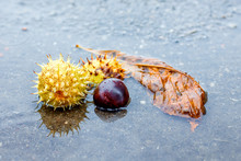 Leaf And The Fruits Of Chestnut In The Puddle From The Rain In The Gloomy Autumn Day_