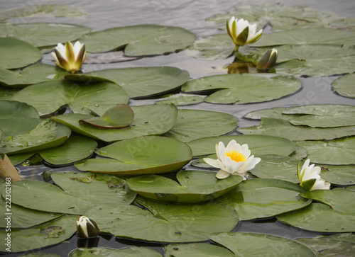 Keuken foto achterwand Waterlelies A beautiful flowering water lily in the canal of the Dutch city of Vlaardingen (Rotterdam, The Netherlands)