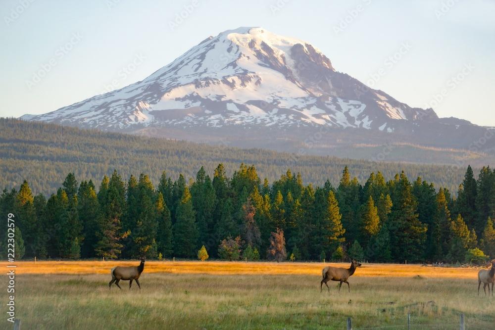Fototapety, obrazy: Elk below Mount Adams