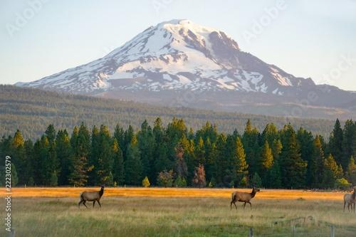 Fototapeta  Elk below Mount Adams