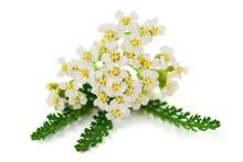 Yarrow (Achillea Millefolium) ...