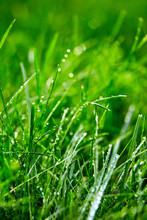 Green Grass With Water Droplets On The Leaves. Lawn. Morning Freshness