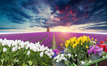 Dramatic Spring Scene On The Tulip Farm. Colorful Sunset In Netherlands, Europe.