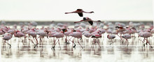 Colony Of Flamingos On The Nat...