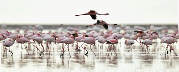 Fototapeta Krajobraz Colony of Flamingos on the Natron lake.Lesser Flamingo Scientific name: Phoenicoparrus minor. Tanzania Africa.