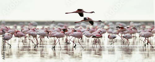 In de dag Flamingo Colony of Flamingos on the Natron lake.Lesser Flamingo Scientific name: Phoenicoparrus minor. Tanzania Africa.