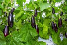 Growing Vegetables In An Industrial Greenhouse Eggplant