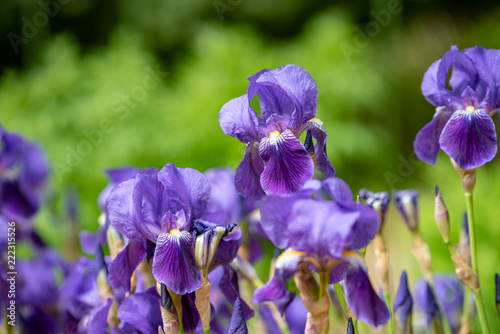Tuinposter Iris 菖蒲の花