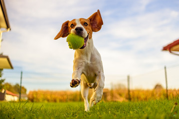 Beagle dog fun in garden outdoors run and jump with ball towards camera