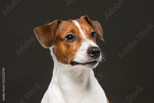 Fototapety, obrazy: Jack Russel terrier