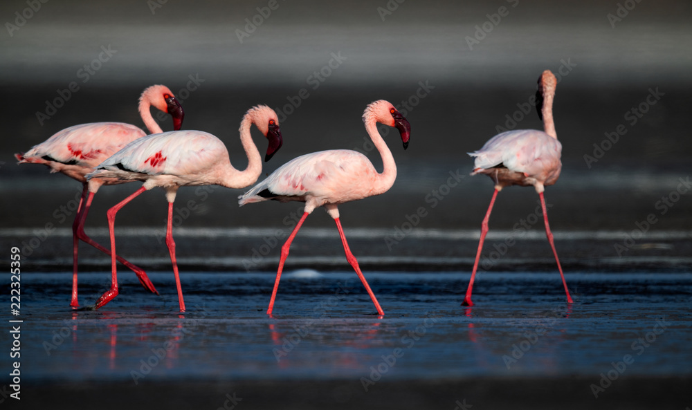 Walking Lesser flamingos (Scientific name: Phoenicoparrus minor) walk on the water of Lake Natron. Tanzania. Africa.