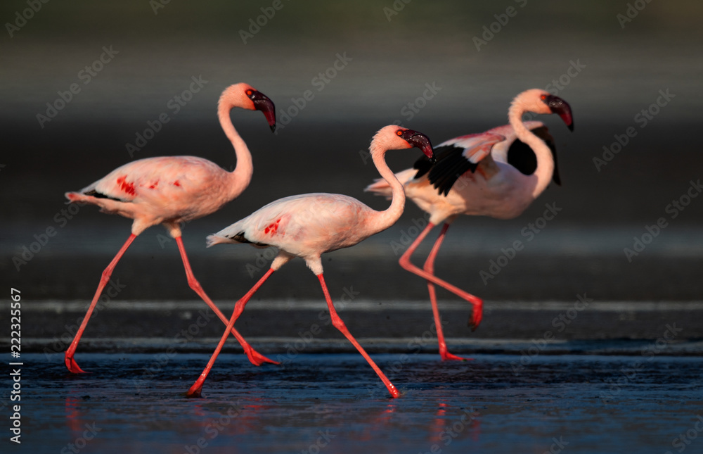 Walking Lesser flamingos Scientific name: Phoenicoparrus minor walk on the water of Lake Natron. Tanzania. Africa.